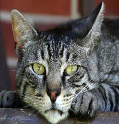 ¿Contra qué enfermedades protejo a mi gato?