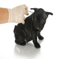 La vacunas en los perros